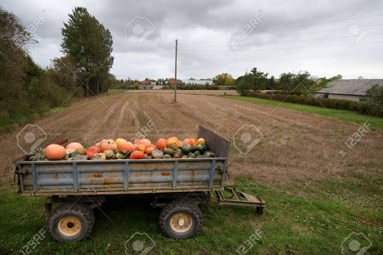 Trailer full of fresh pumpkins. Rich harvest in autumn or fall on farm in November. Beautiful, colorful autumn background. Preparing for Halloween. Delicious and healthy vegetables and fruits. - 119718835