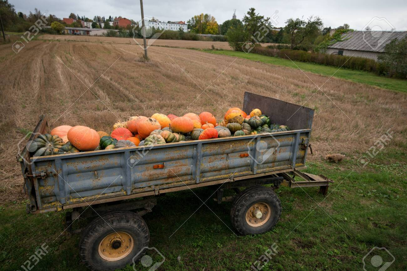 Trailer full of fresh pumpkins. Rich harvest in autumn or fall on farm in November. Beautiful, colorful autumn background. Preparing for Halloween. Delicious and healthy vegetables and fruits. - 119718836