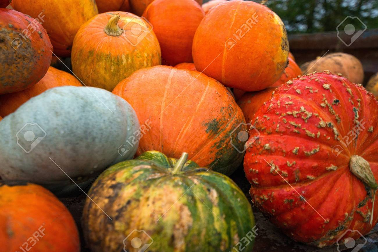 Trailer full of fresh pumpkins. Rich harvest in autumn or fall on farm in November. Beautiful, colorful autumn background. Preparing for Halloween. Delicious and healthy vegetables and fruits. - 119718838