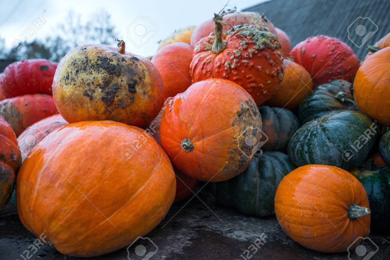 Trailer full of fresh pumpkins. Rich harvest in autumn or fall on farm in November. Beautiful, colorful autumn background. Preparing for Halloween. Delicious and healthy vegetables and fruits. - 119718932