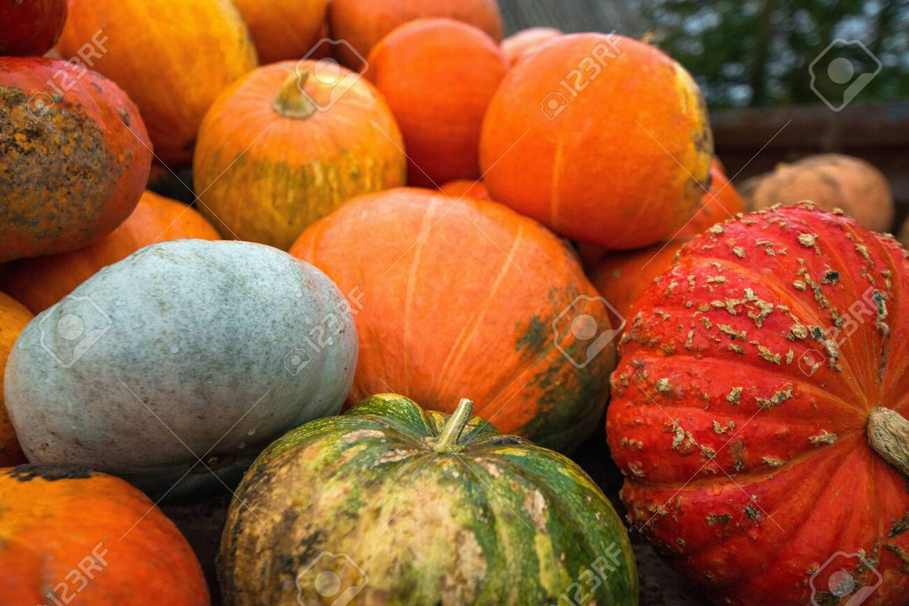 Trailer full of fresh pumpkins. Rich harvest in autumn or fall on farm in November. Beautiful, colorful autumn background. Preparing for Halloween. Delicious and healthy vegetables and fruits. - 119718935
