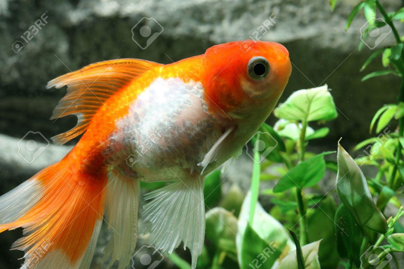 Closeup Underwater Image Of Freshwater Aquarium Goldfish Stock Photo ...