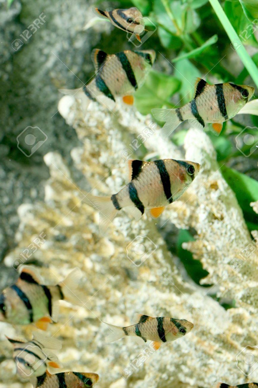 closeup underwater image of freshwater aquarium fishes Stock Photo - 4119495