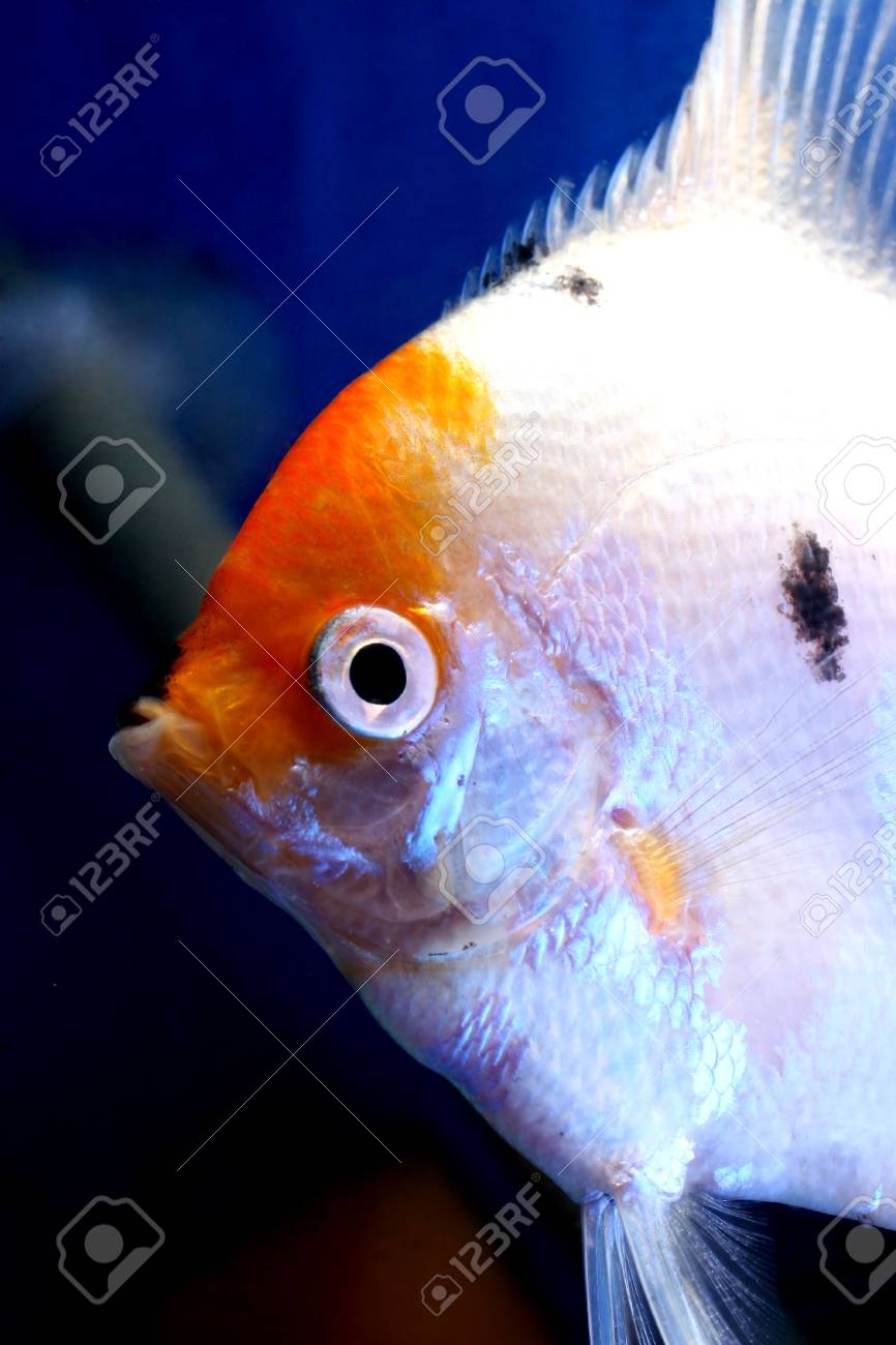 closeup image of head of freshwater aquarium fish Stock Photo - 4353461