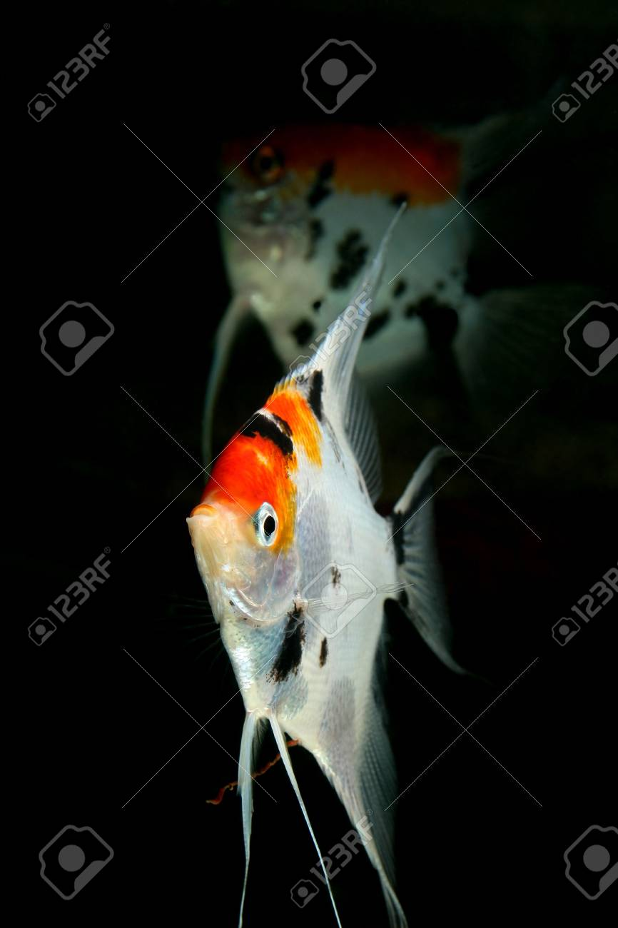closeup image of nice aquarium fish couple Stock Photo - 4353454