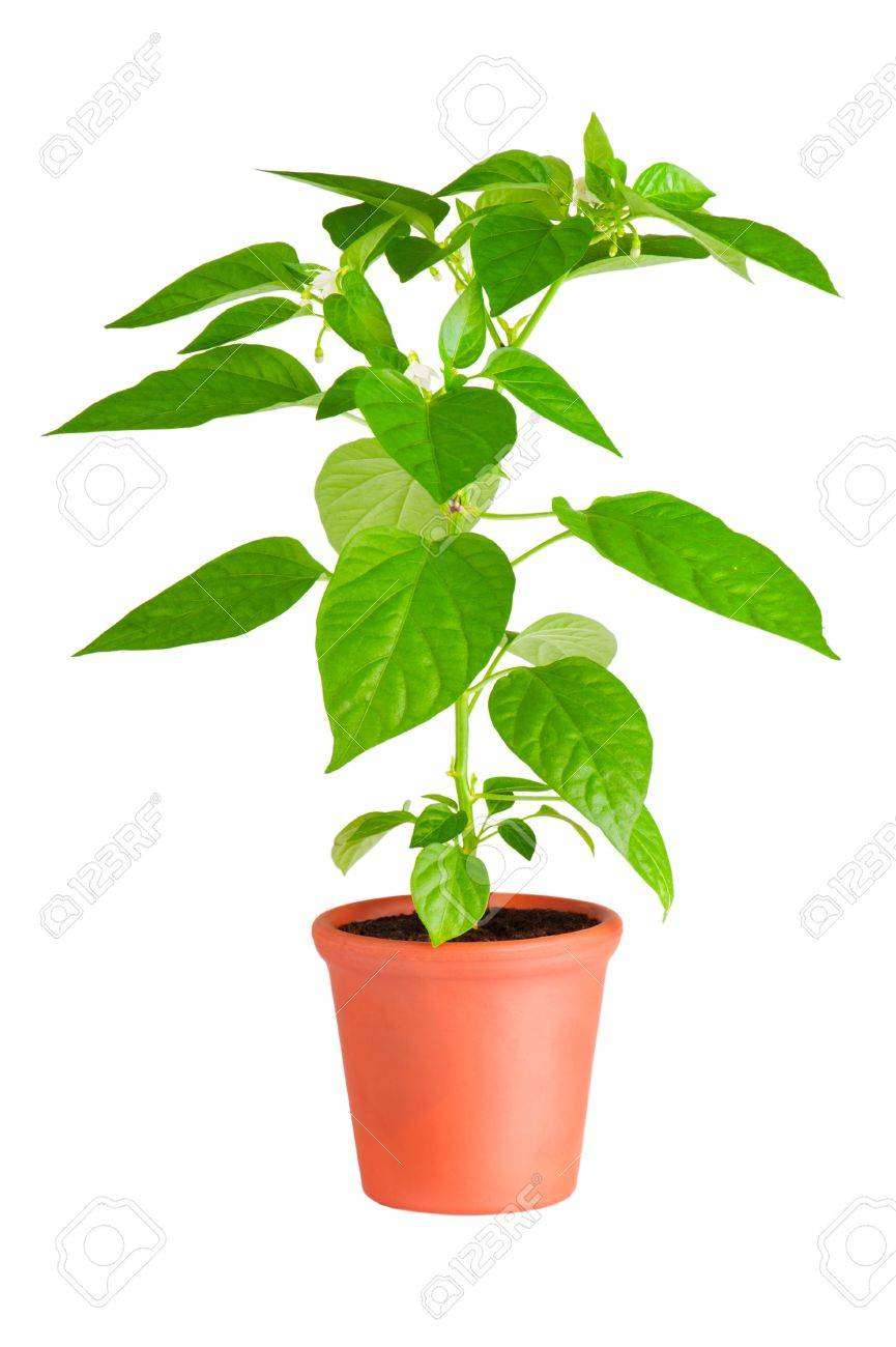 Chili pepper plant with white flowers growing in ceramic pot Stock Photo - 9925532