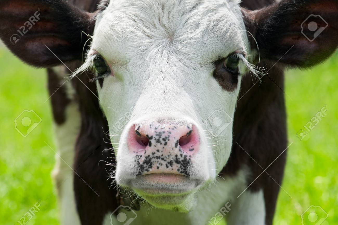 Farm animal  Close up portrait of little cow on meadow Stock Photo - 13935054