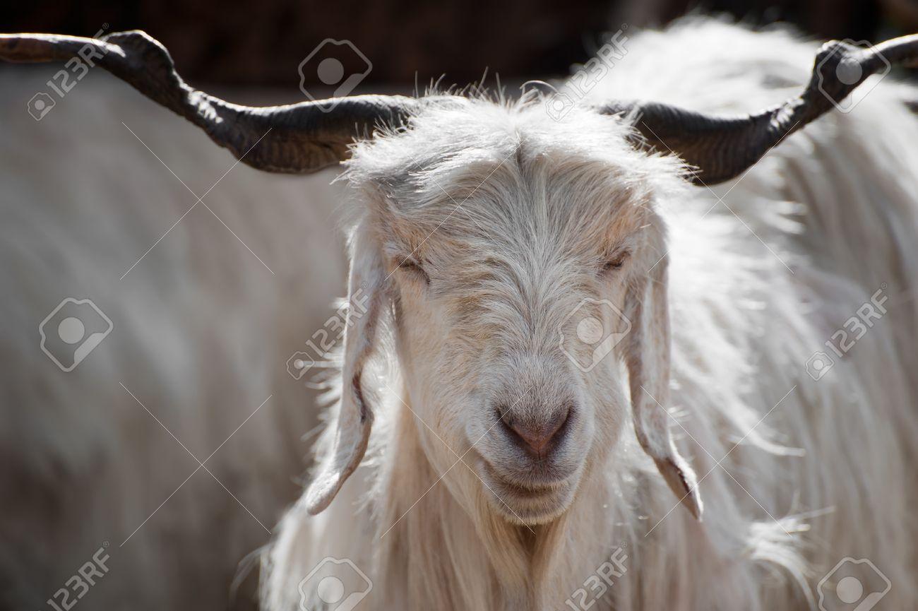 amazing selection nice cheap half off Blanc cachemire (pashmina) de chèvre de montagne indien ferme au Ladakh