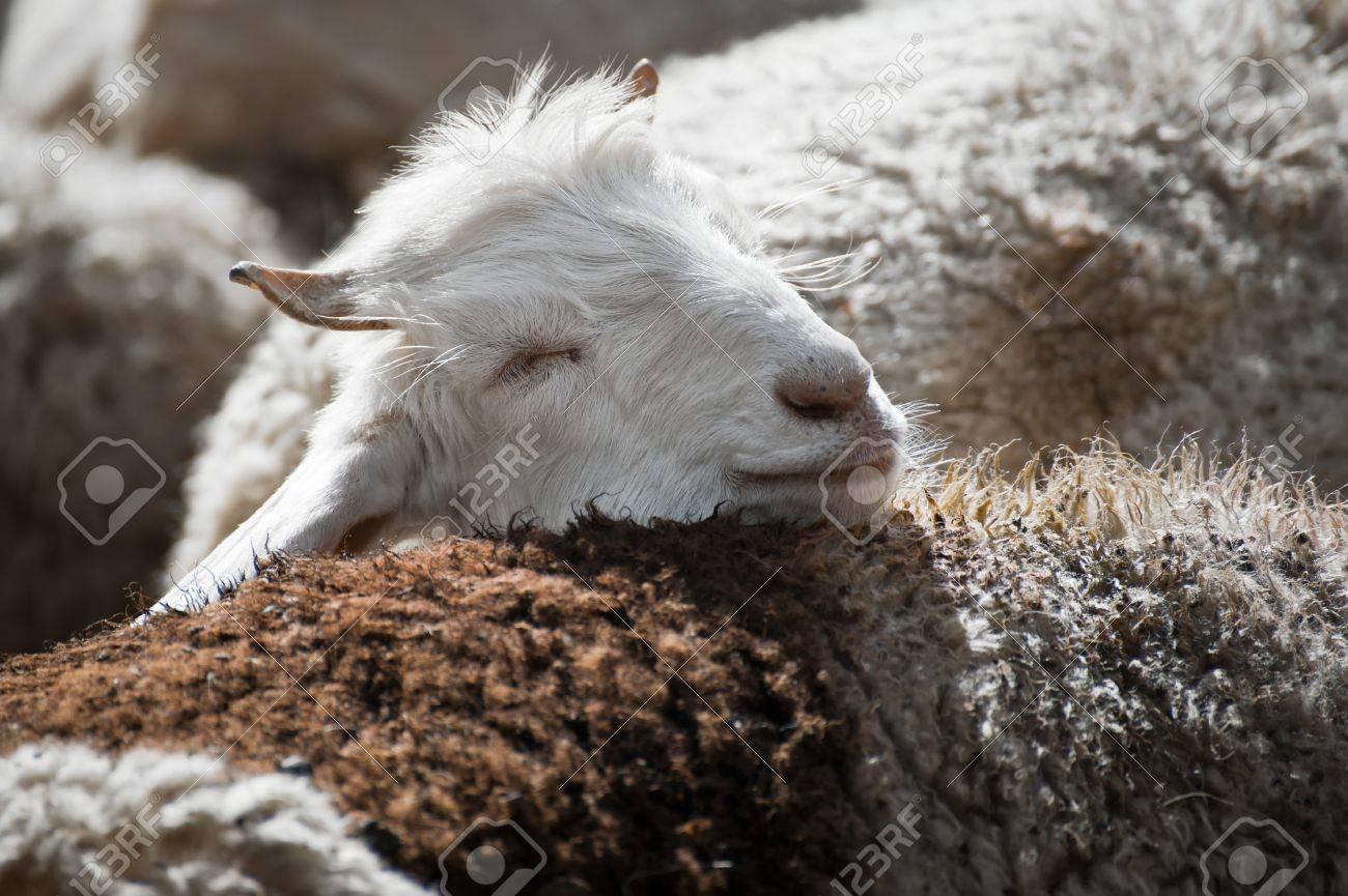 various design classic styles how to buy Blanc cachemire (pashmina) de chèvre de montagne indien domaine au Ladakh