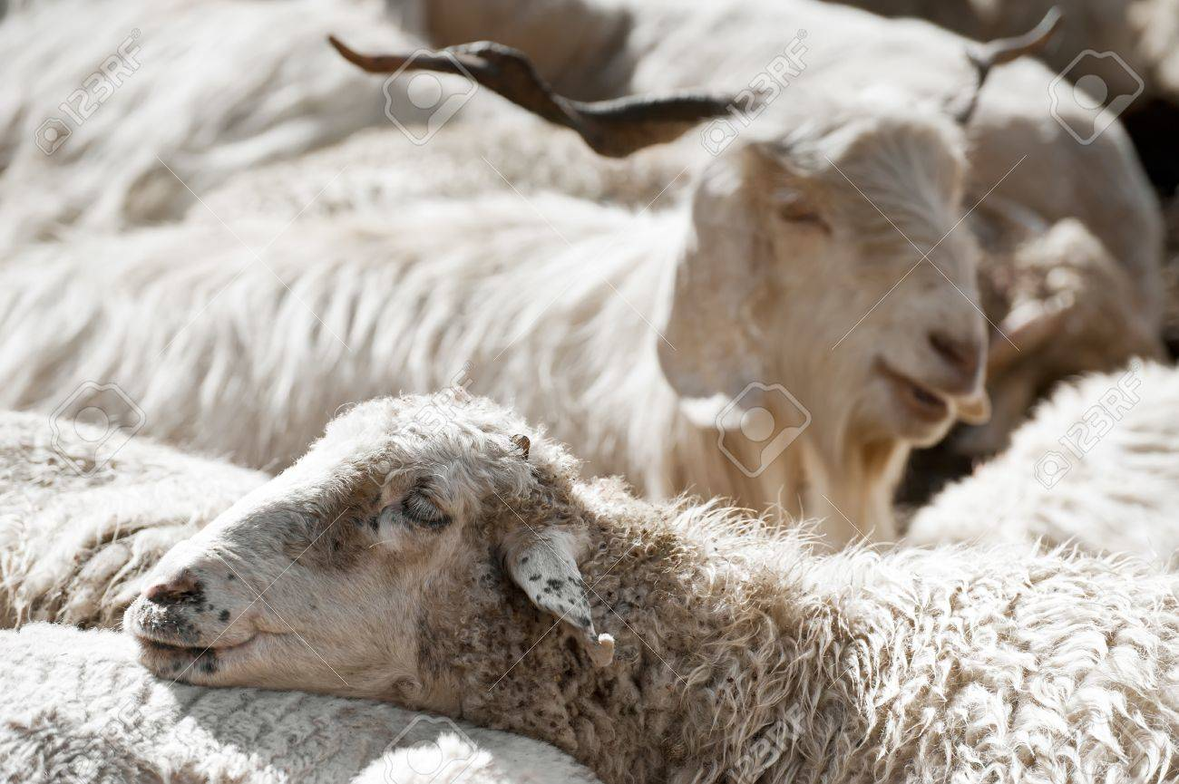 Sheep and white kashmir (pashmina) goat from Indian highland field in Ladakh Stock Photo - 16355470