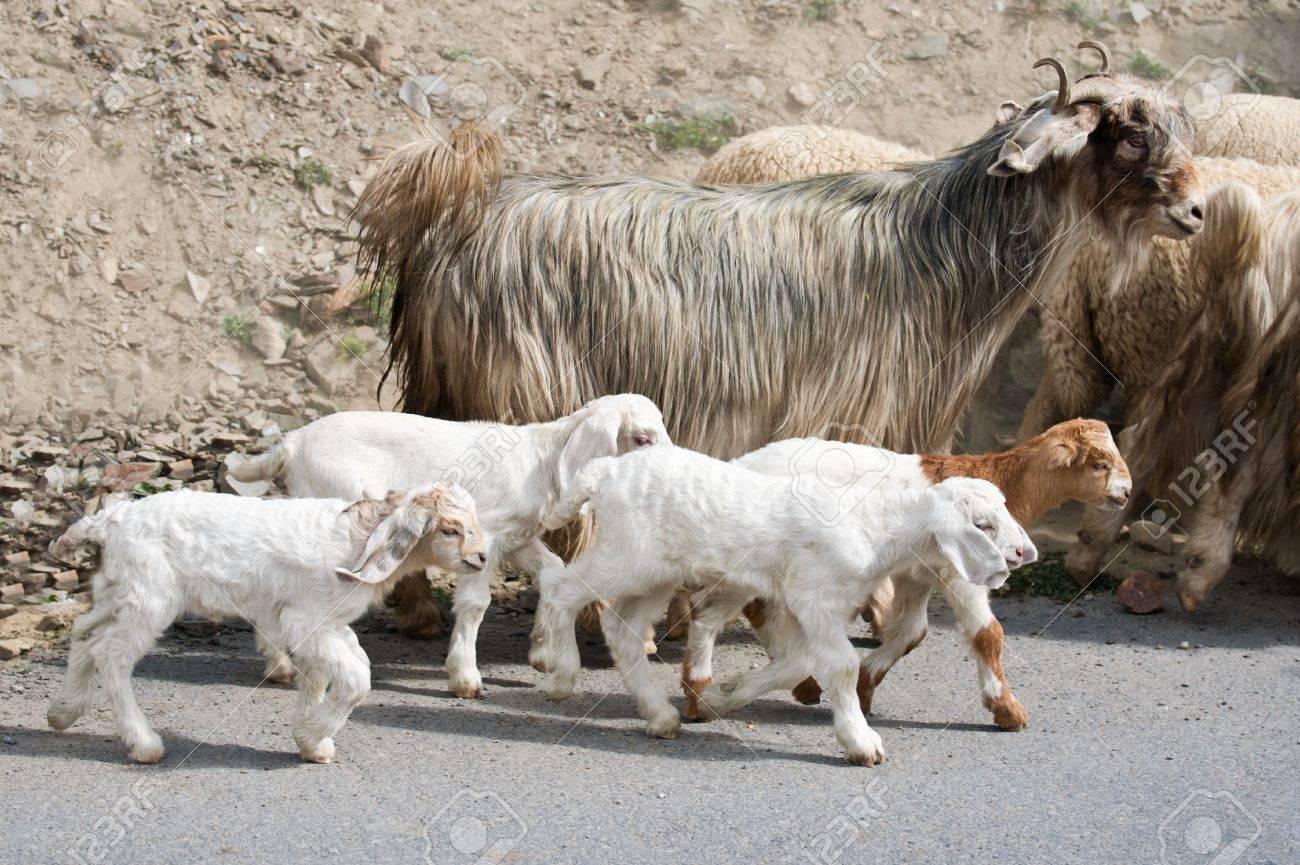 the latest new appearance price reduced Enfants de chèvre et-Cachemire (pashmina) chèvres de montagne indien  domaine au Ladakh va avec le troupeau