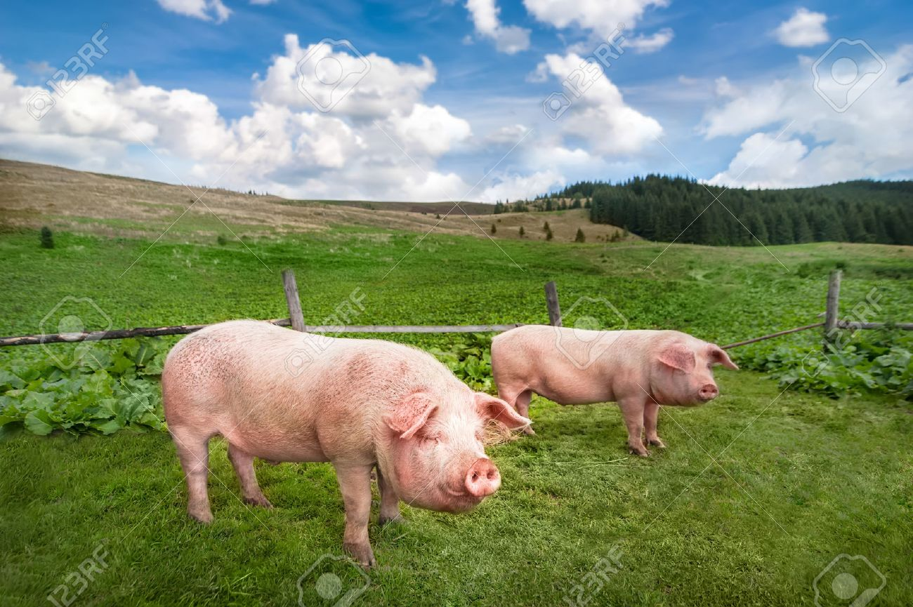 cute pigs grazing at summer meadow at mountains pasturage under
