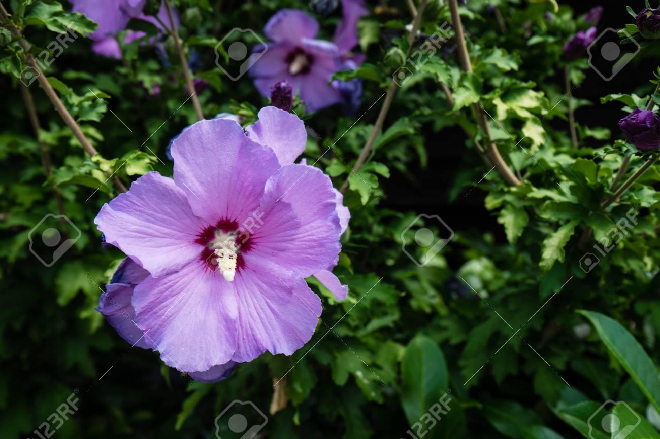 Fiori Viola Immagini.Immagini Stock Fioritura Di Fiori Viola Image 83419746
