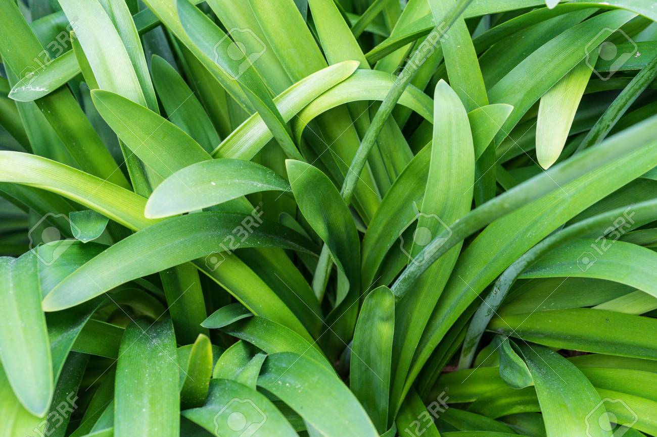 Agapanthus Foglie Gialle leaves of agapanthus praecox love flower from south africa