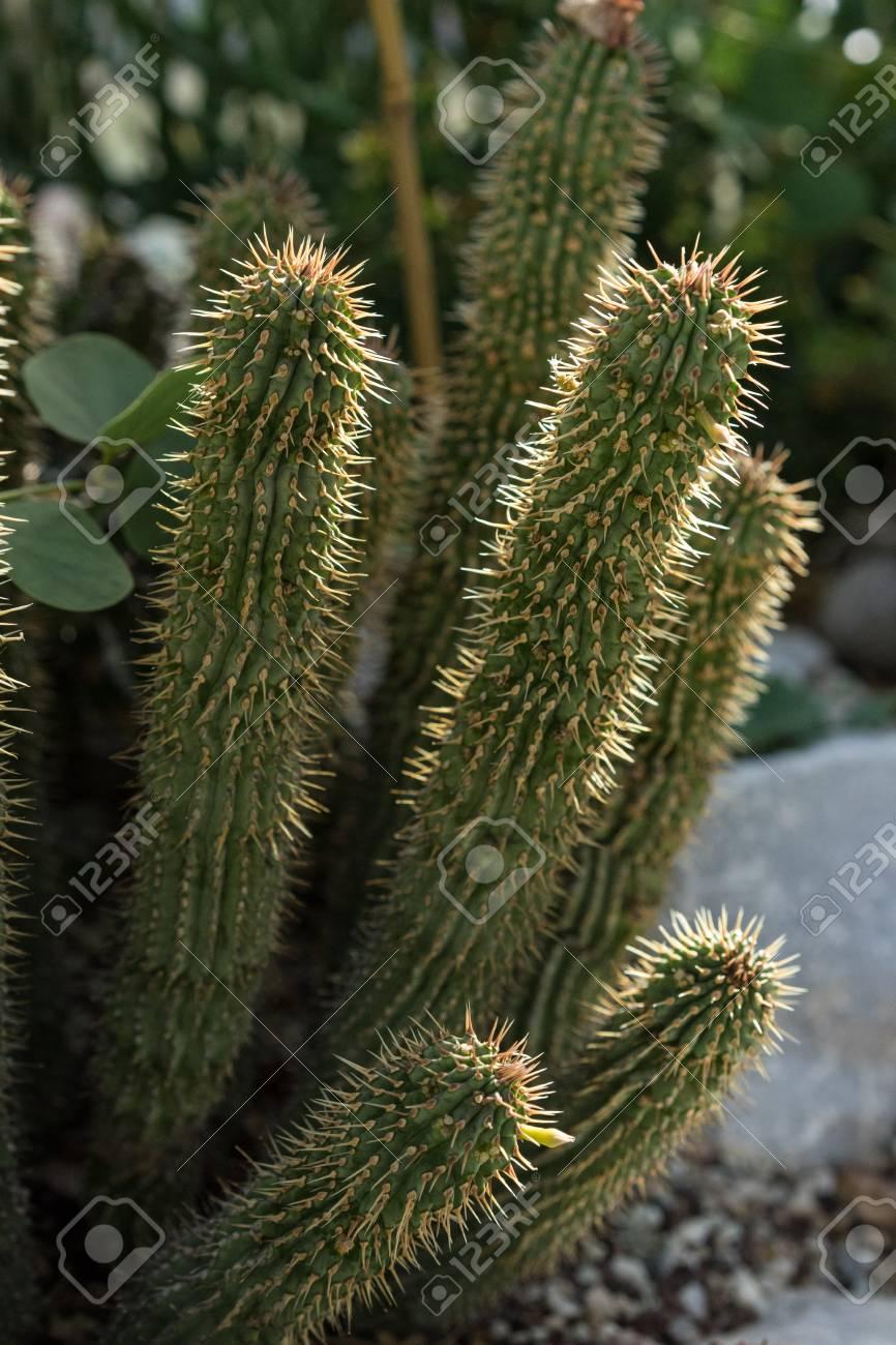 Hoodia Gordonii Cactus Plant Succulent Stock Photo Picture And
