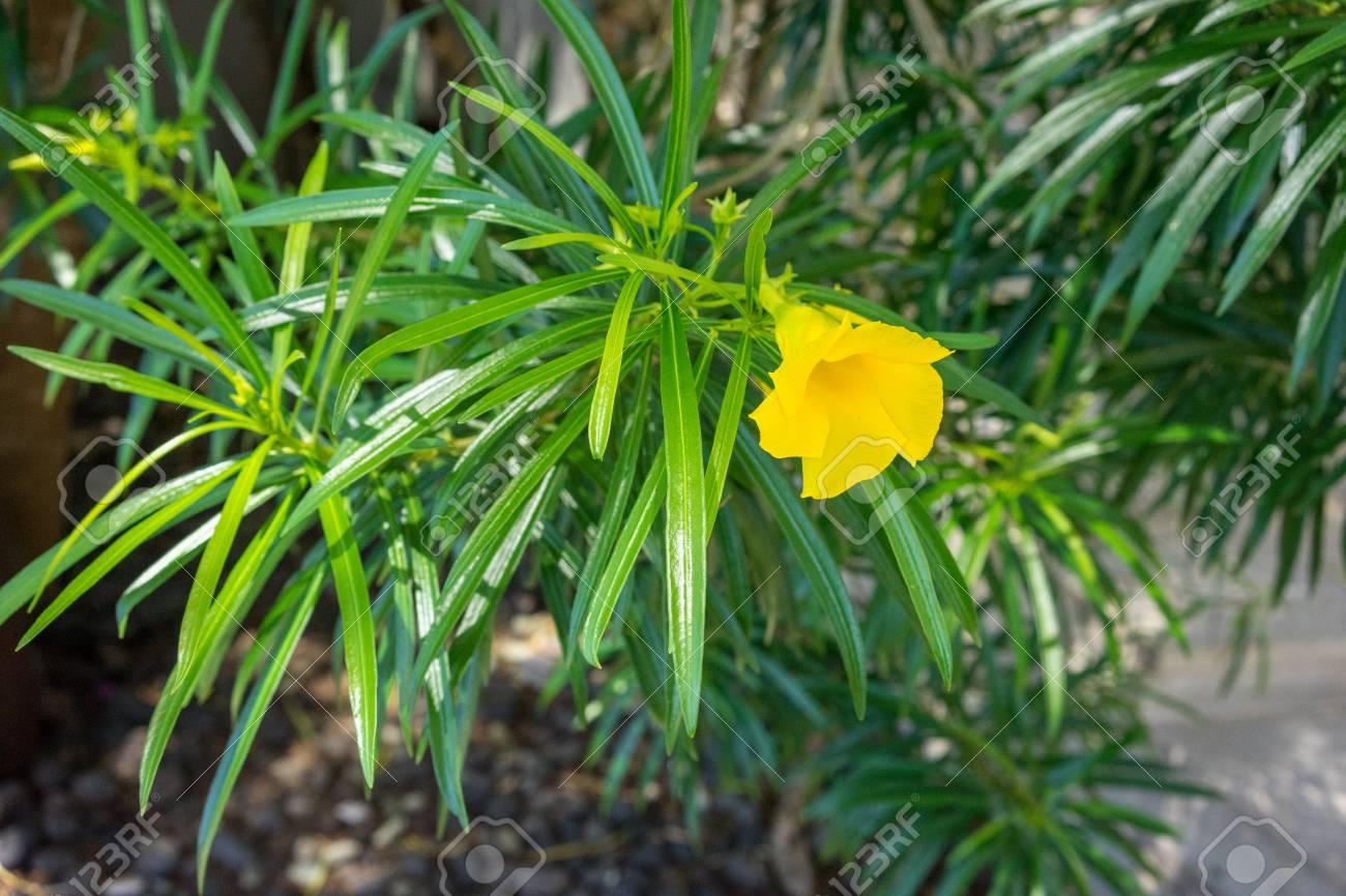 Flamboyan Tree Delonix Regia Blooming With Small Yellow Flower