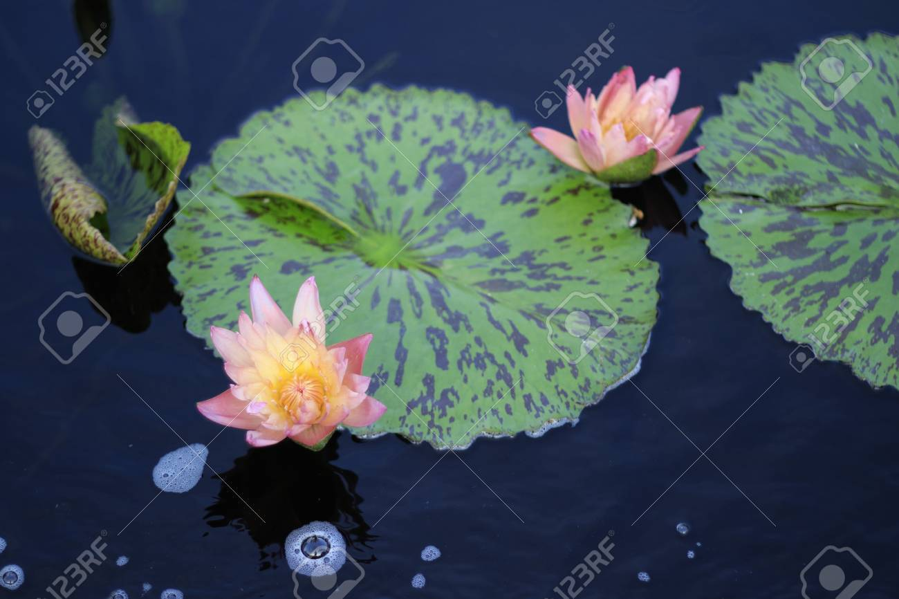 Two pink and yellow lotus flowers growing in pond by lily pad stock stock photo two pink and yellow lotus flowers growing in pond by lily pad izmirmasajfo