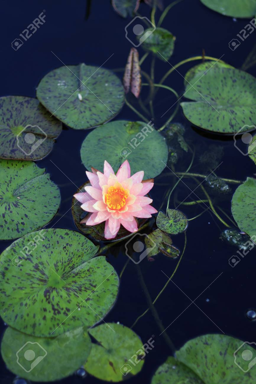 Single Pink And Yellow Lotus Flower Growing In Pond Water Surrounded