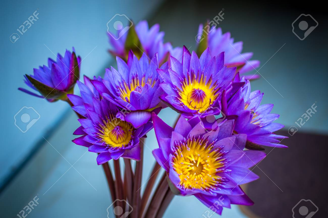 Blue Lotus Flower Close Up Stock Photo Picture And Royalty Free Image Image 63733980