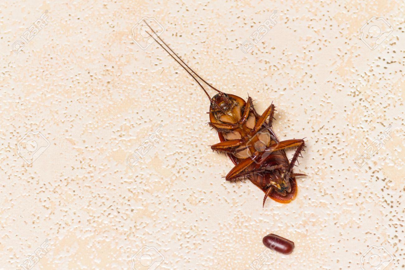 ゴキブリの卵で死んだゴキブリ 写真素材 , 61924127