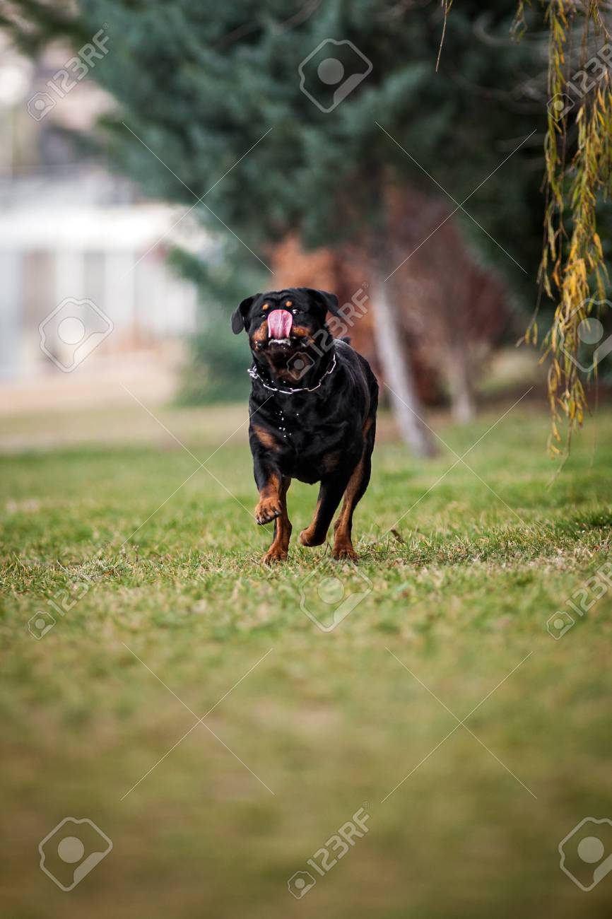 Funny Adorable Devoted Purebred Rottweiler Running Stock Photo