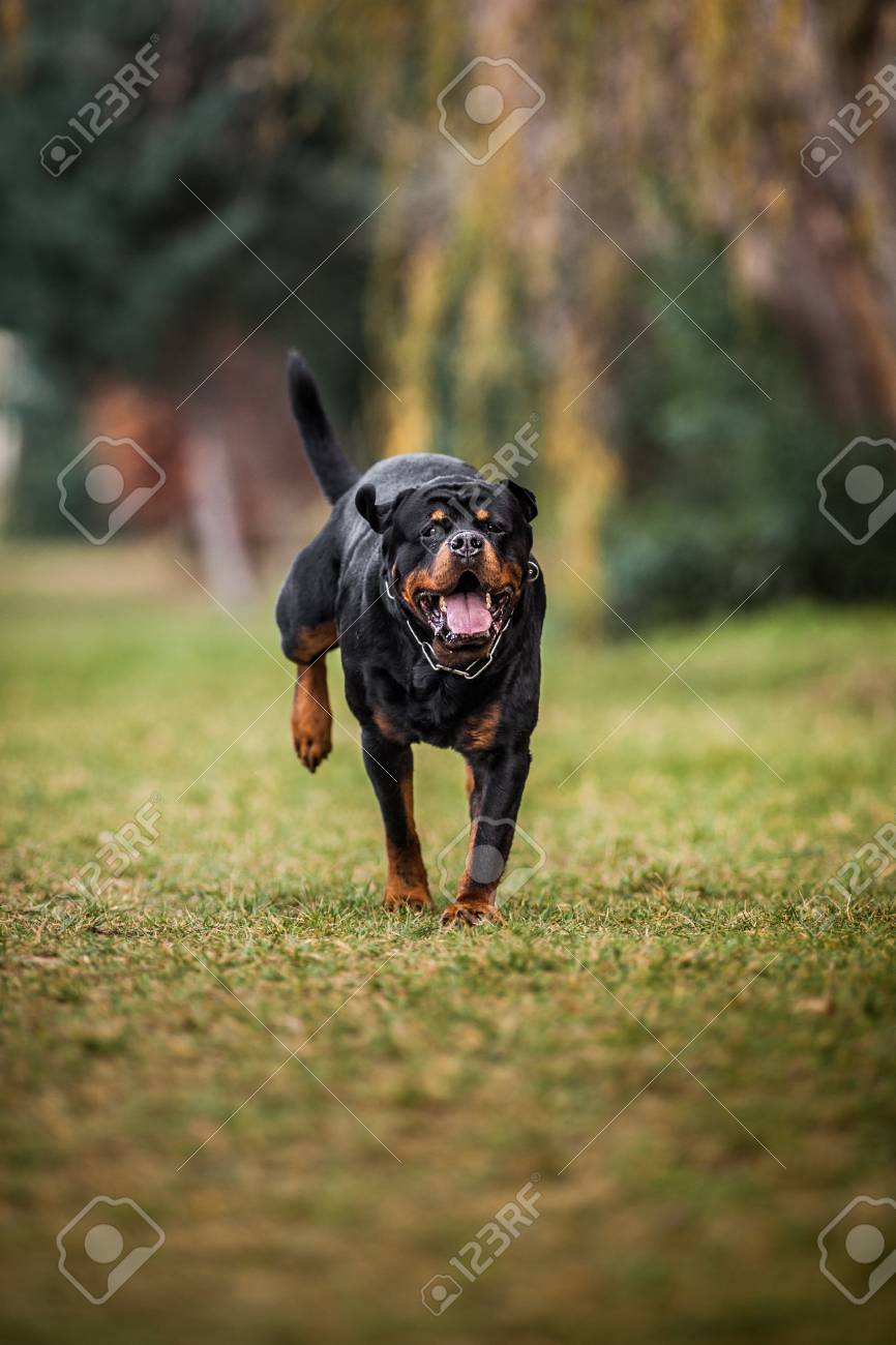 Adorable Devoted Purebred Rottweiler Running Stock Photo Picture