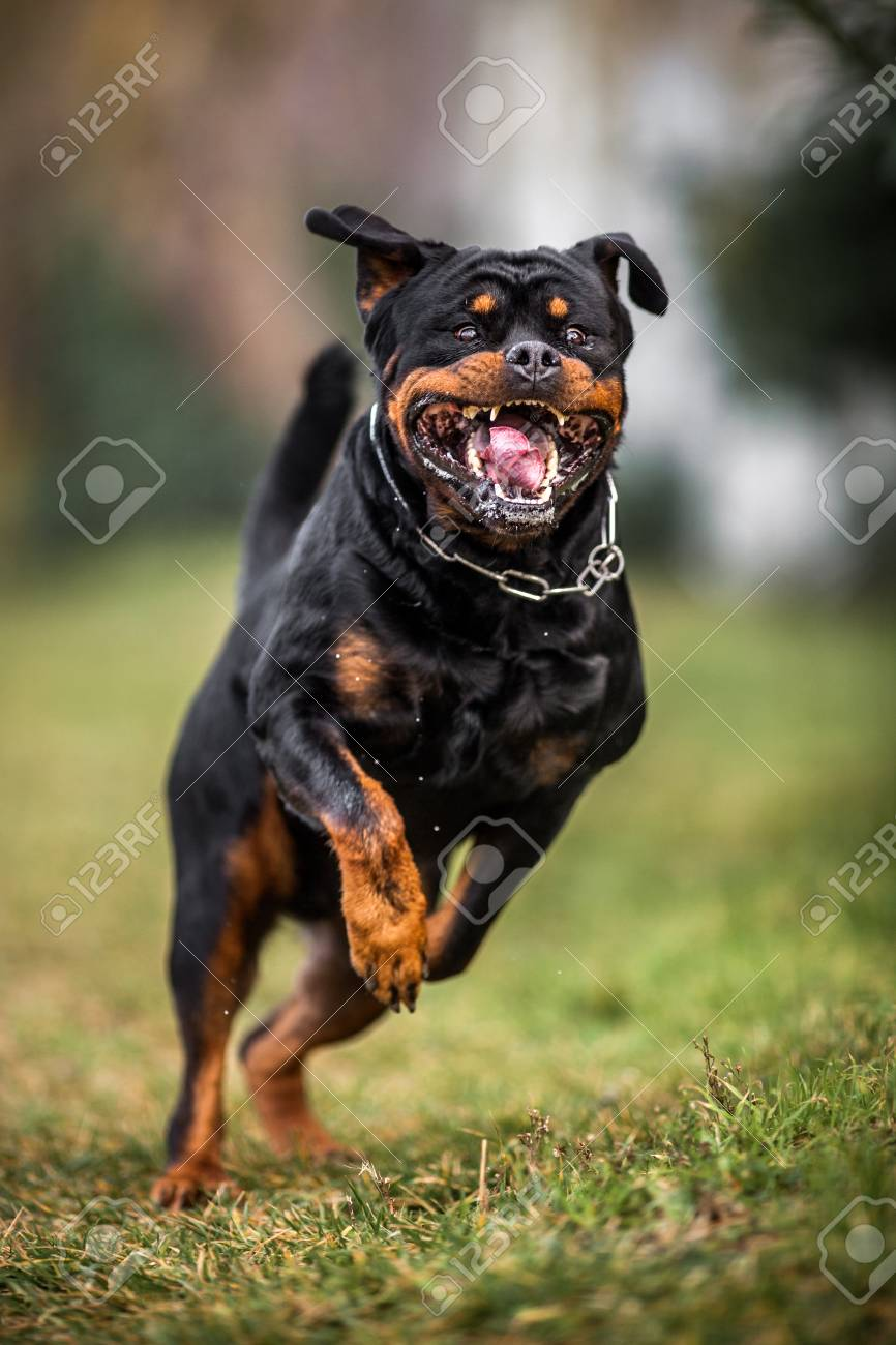 Adorable Devoted Purebred Rottweiler Running Fast Giving The