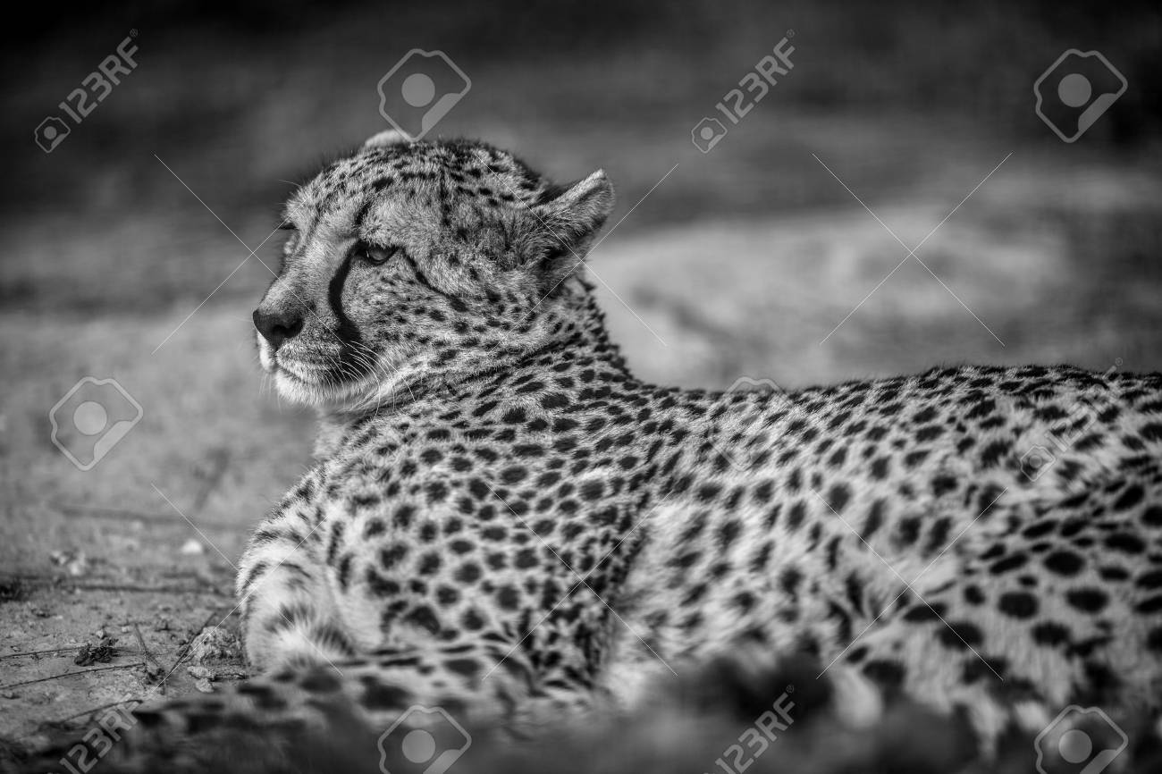 Fashion week Photography cheetah black and white for woman