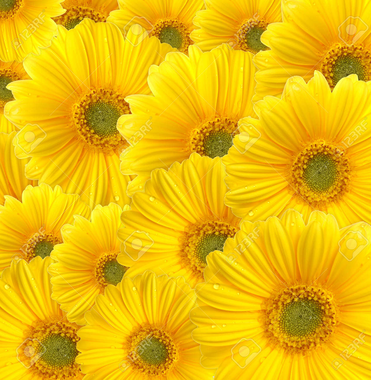 Yellow gerberas (daisy). Picture was made in a studio. Stock Photo - 786613