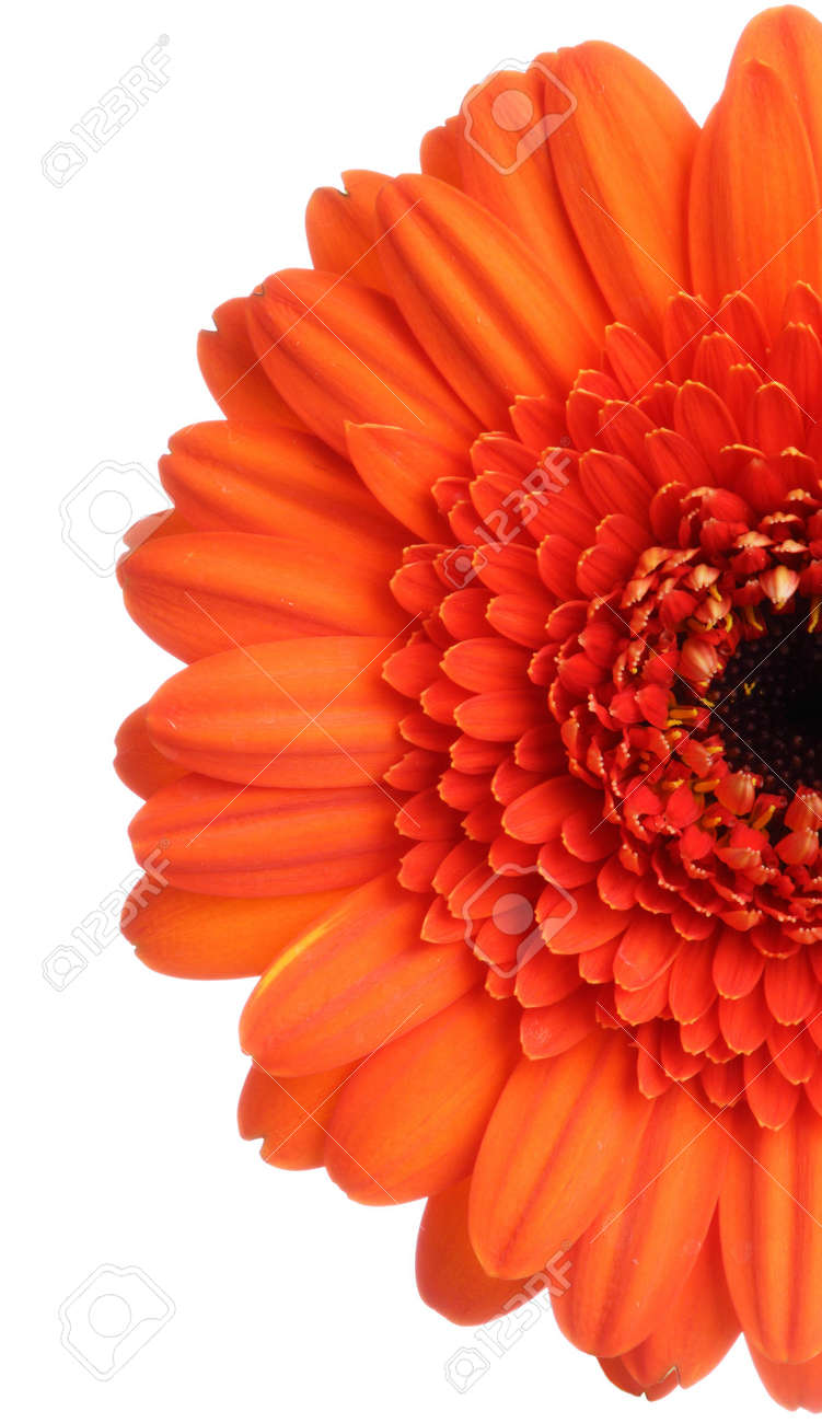 Red gerbera (daisy). Picture was made in a studio. Stock Photo - 795678