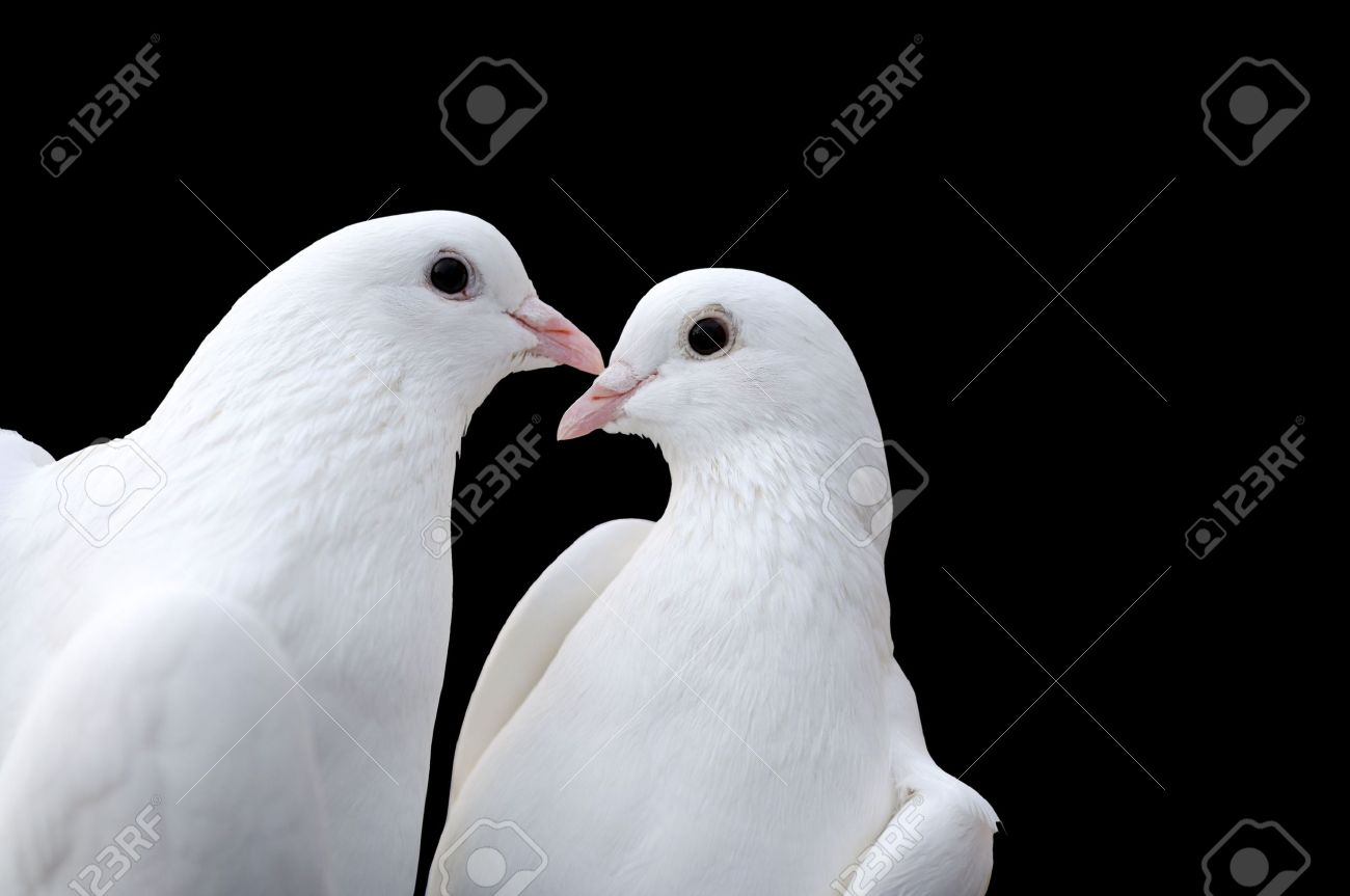 Two beatiful white pigeons isolated on black Stock Photo - 6176058
