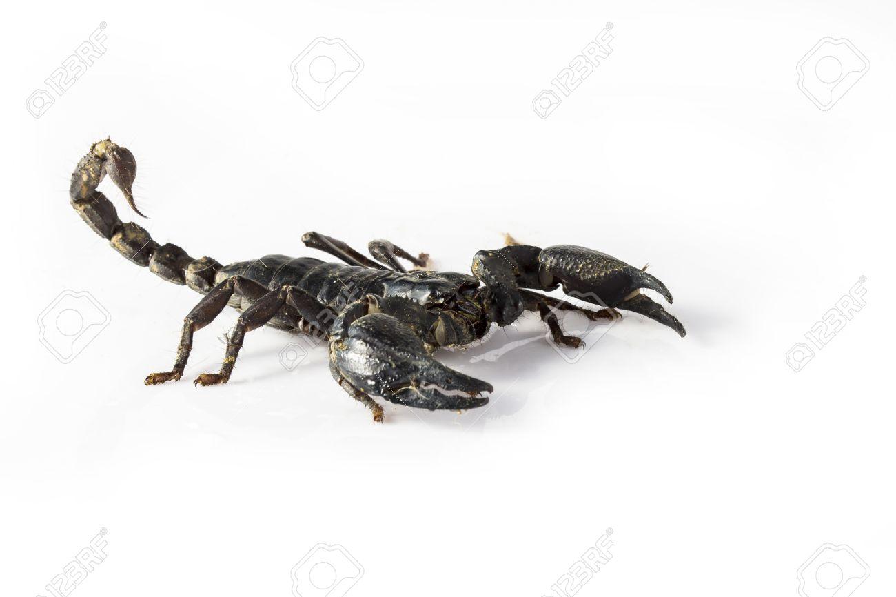 Los Escorpiones Son Animales Venenosos Parece Un Cangrejo Del