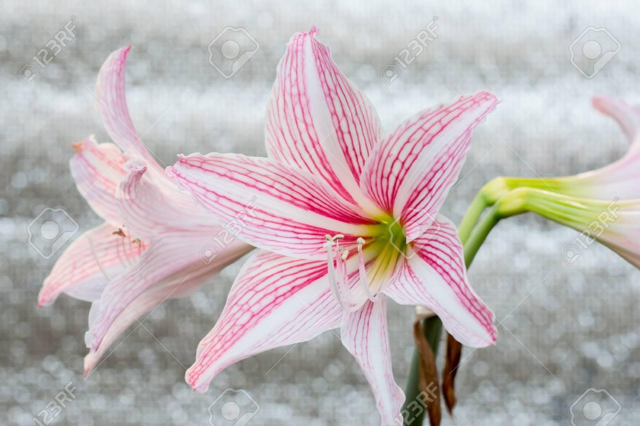 White Pink Amaryllis Flower On White Circular Blur Bokeh Background