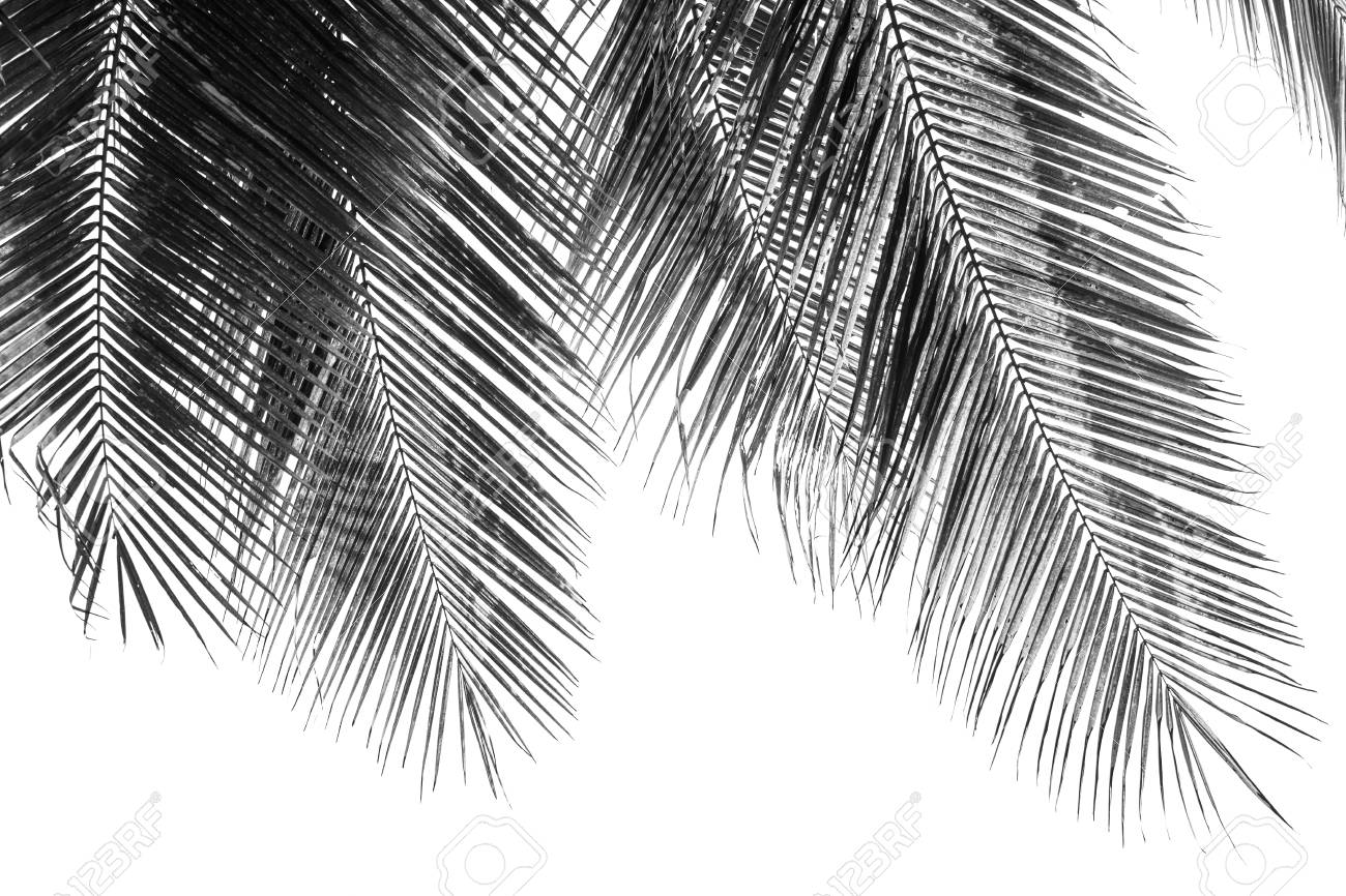 Stock photo white and black coconut palms leaf on white background