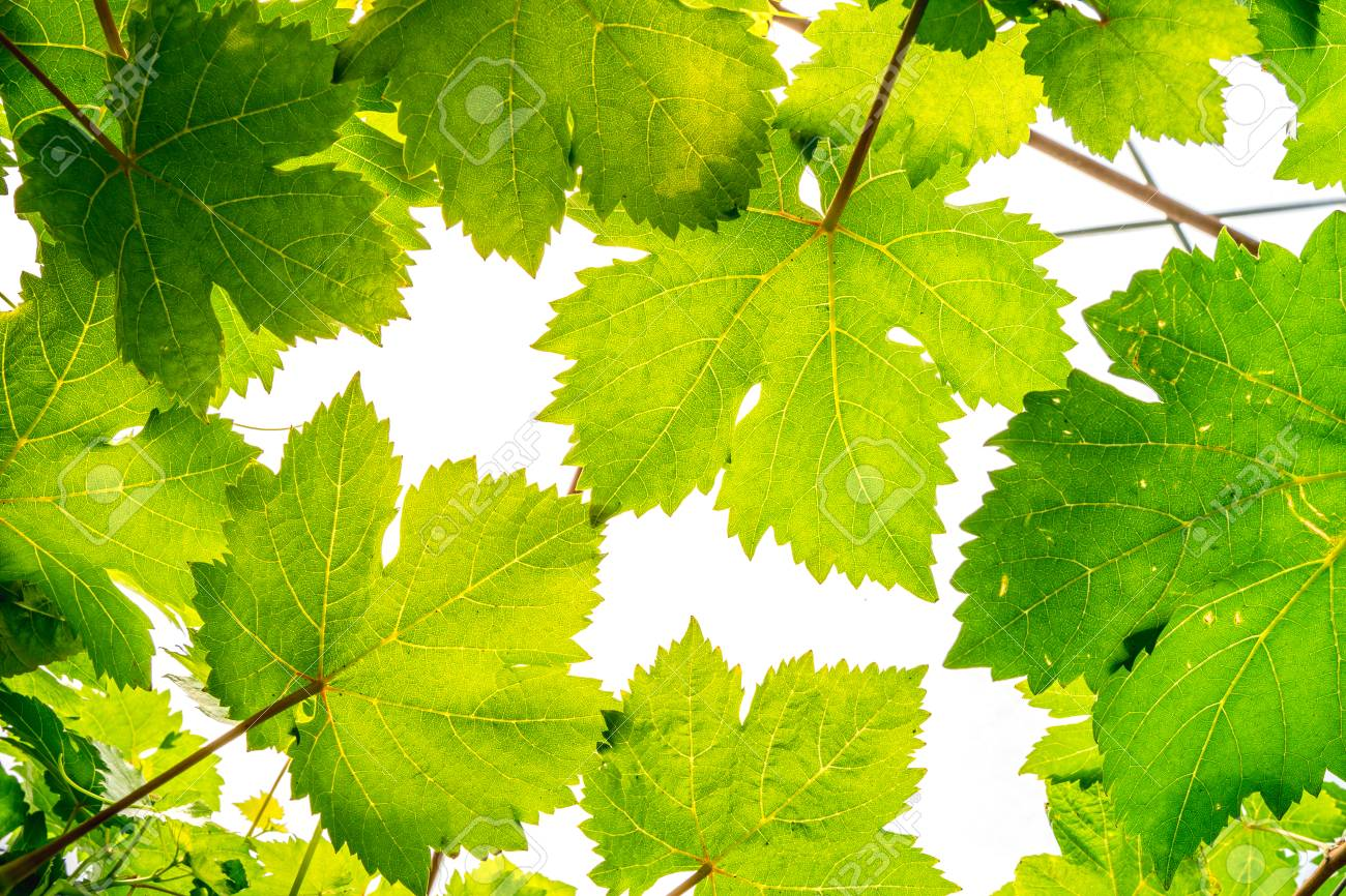 Macro Close Up Green Grape Leaf Background Stock Photo Picture And Royalty Free Image Image 98791919