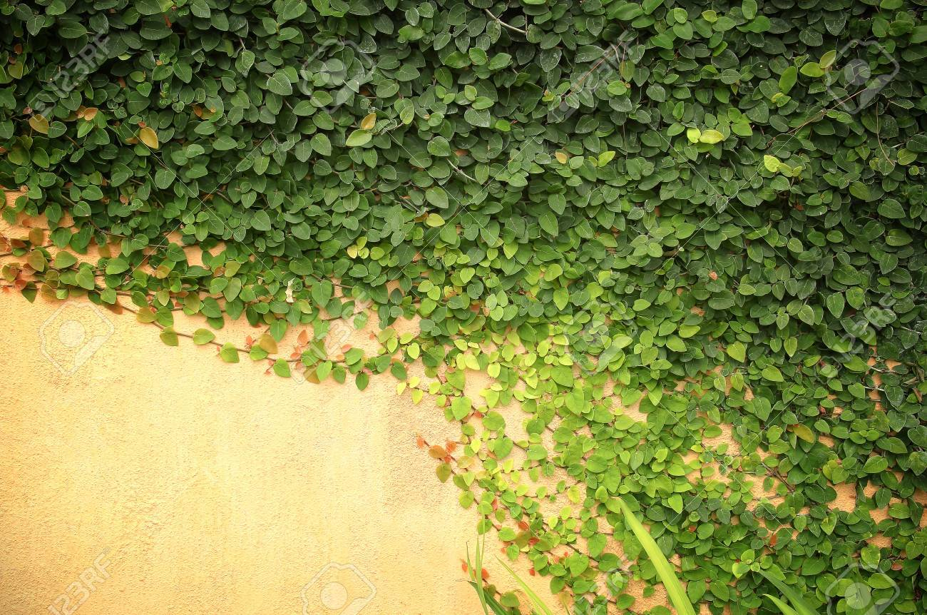 Green Creeper On Cement Wall For Background Stock Photo, Picture And ...