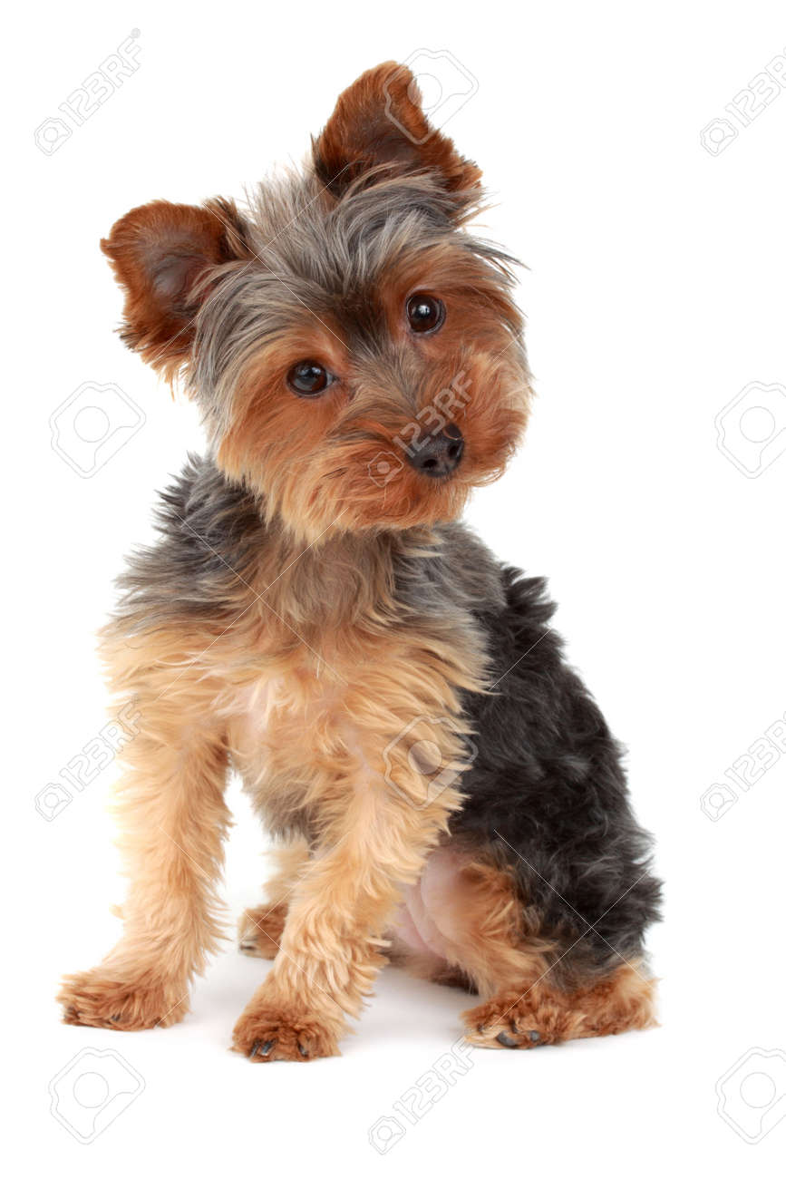 Cute Yorkshire Terrier Dog White Background Stock Photo Picture And Royalty Free Image Image 4627782