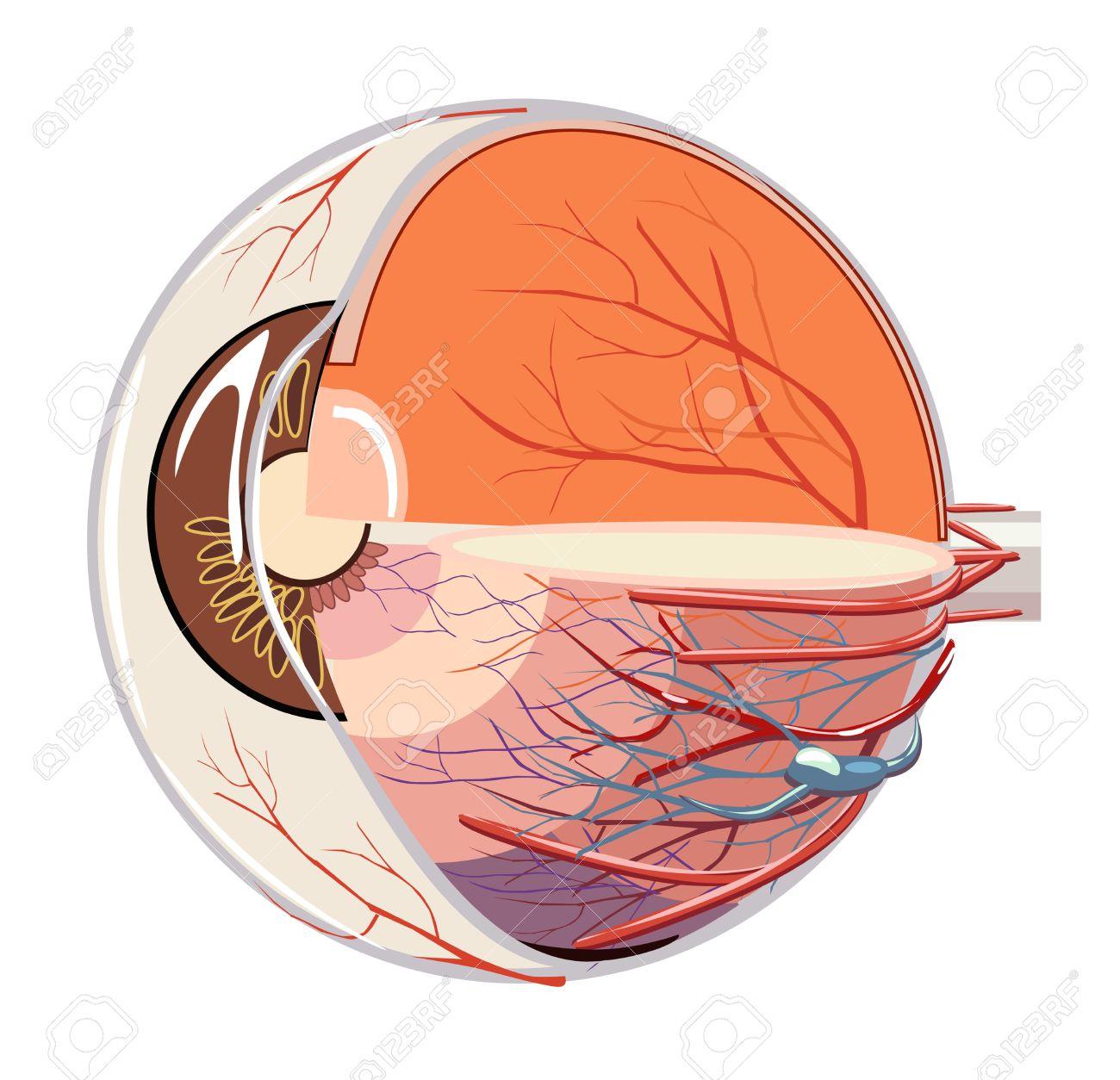 La Imagen De La Anatomía Del Globo Ocular Ilustraciones Vectoriales ...