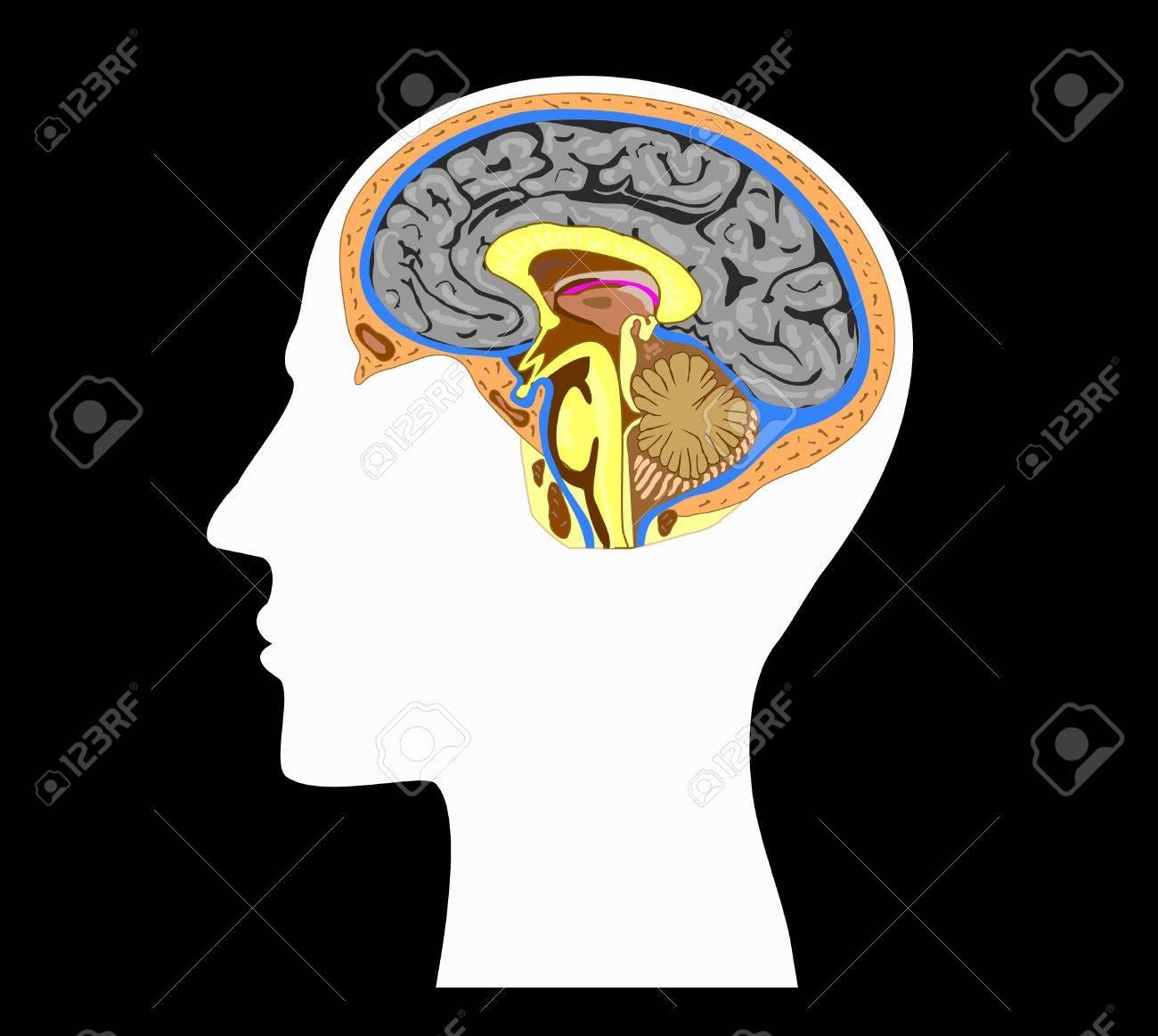 Silueta Blanca De Una Cabeza Humana Con La Anatomía Del Cerebro En ...