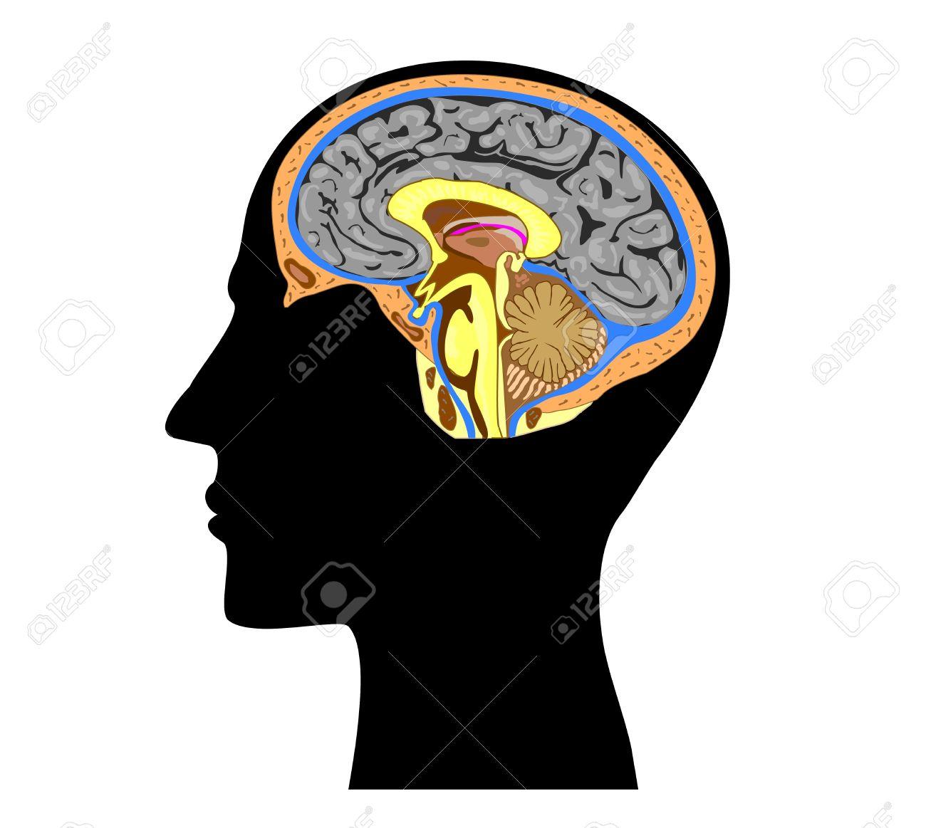 Silueta De Una Cabeza Humana Con La Anatomía Del Cerebro En El ...