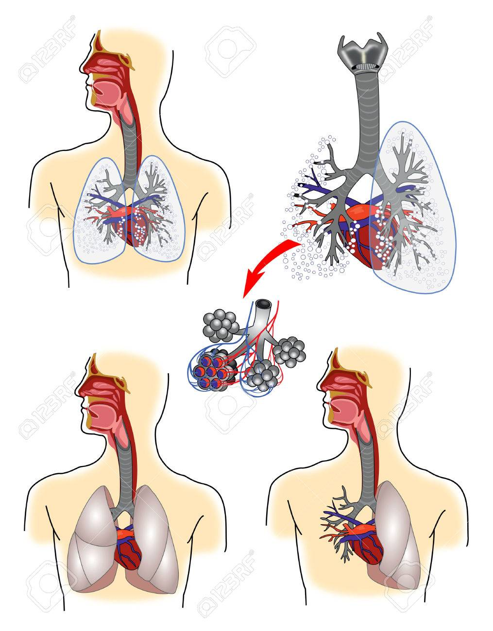 Respiratory System Anatomy Royalty Free Cliparts Vectors And Stock