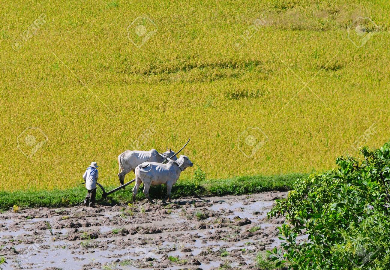 Farmer plows rice field in Mekong Delta  Although growth and