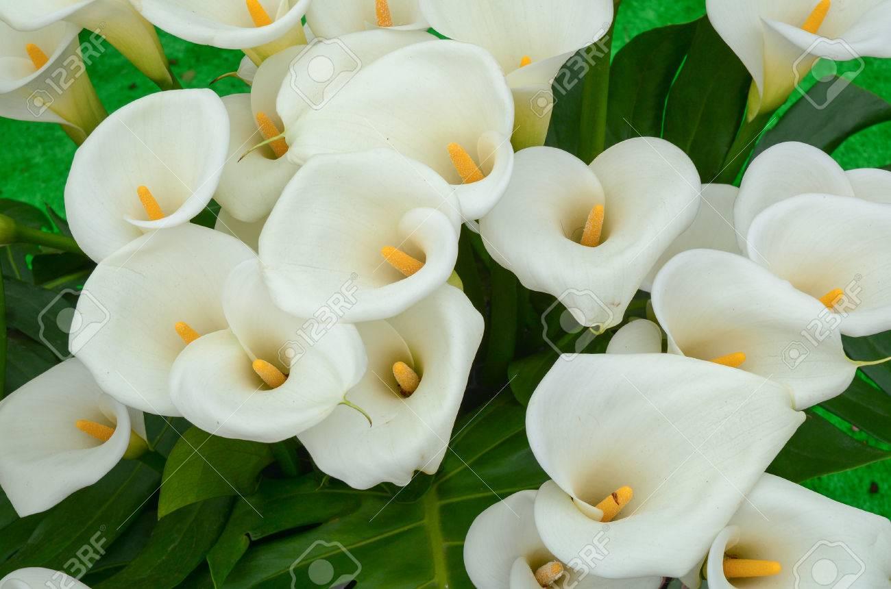 Geliebte Calla-Lilie Blüht Im Garten In Taiwan. Lizenzfreie Fotos, Bilder &WX_83