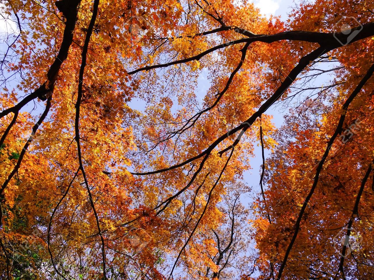 Acero Blu Giapponese alberi di acero con foglie rosse sotto il cielo blu in autunno a tokyo, in  giappone. tokyo è la capitale e la città più popolosa del giappone.