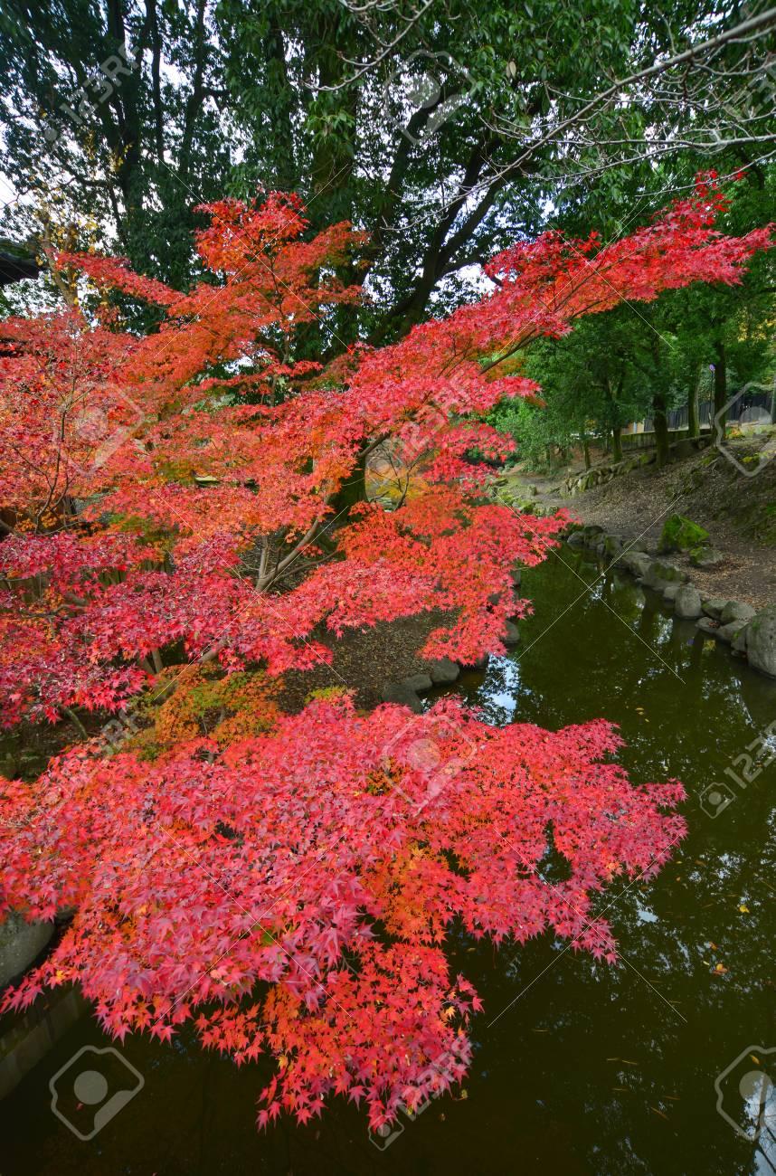 Maple Tree At Japanese Garden In Nara Kansai Japan Red Leaves