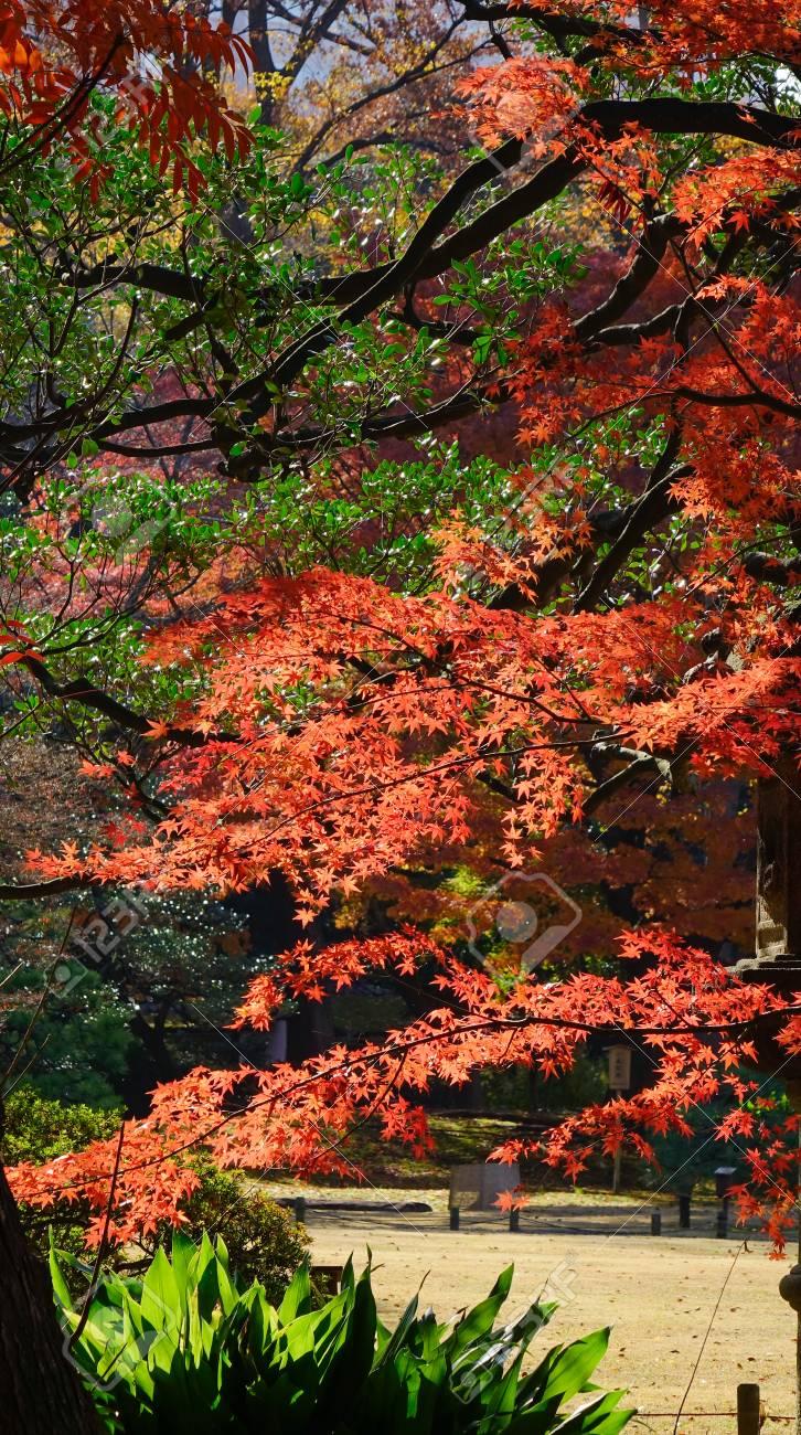 Red Maple Leaves Under Sun Lights At Rikugien Gardens In Tokyo ...