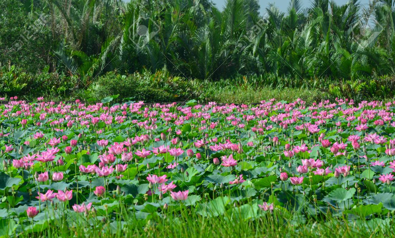 Landscape of lotus flower field with palm forest background stock landscape of lotus flower field with palm forest background lotus flowers enjoy warm sunlight and izmirmasajfo