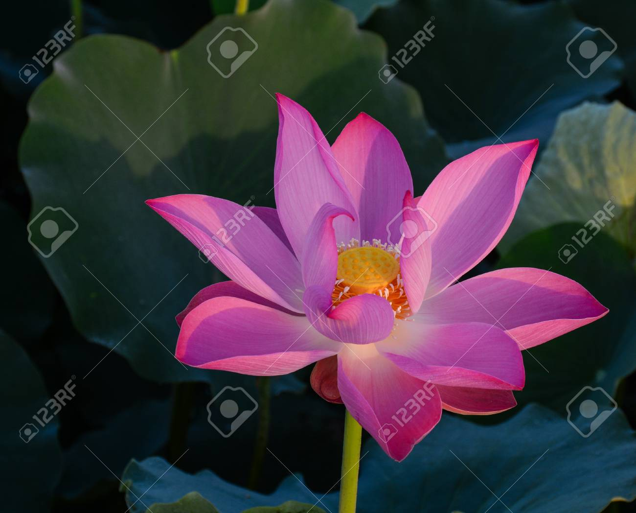 Close Up Of Lotus Flower With Green Leaves On The Pond At Sunrise