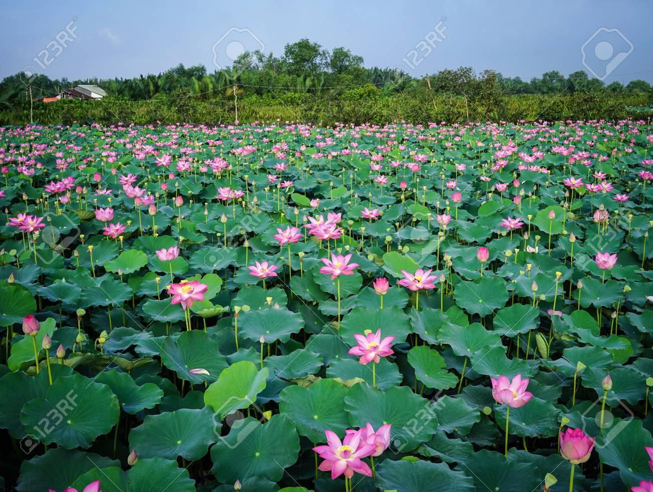 Landscape of lotus flower field under sun lights lotus flowers landscape of lotus flower field under sun lights lotus flowers enjoy warm sunlight and are izmirmasajfo