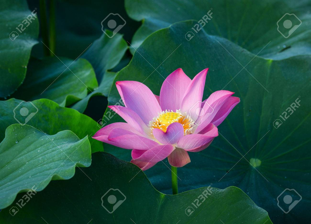 Close Up Of Lotus Flower In Buddhist Symbolism The Lotus